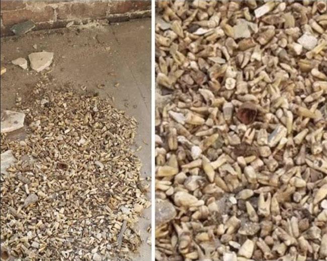 Phát hiện 1.000 răng người trong tường tòa nhà cổ ở Mỹ