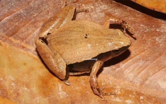 Phát hiện 2 loài nhái bí ẩn ở Việt Nam