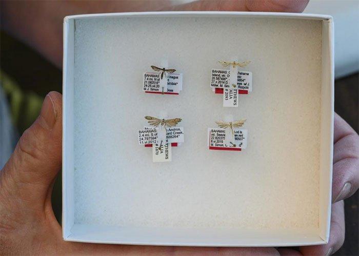 Phát hiện 4 loài bướm đêm kích thước bằng con muỗi