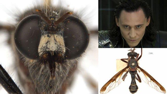 Phát hiện 5 loài ruồi sát thủ mới, đặt tên theo vũ trụ điện ảnh Marvel