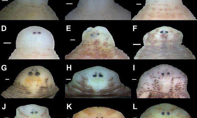Phát hiện 7 loài đỉa mới sống trong trai nước ngọt