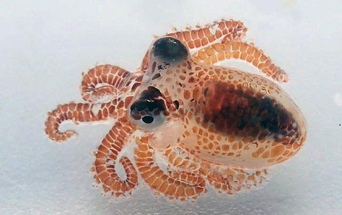 """Phát hiện bạch tuộc """"siêu nhỏ"""" trên biển"""