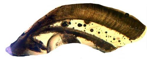 Phát hiện cá nước ngọt 112 tuổi ở Mỹ