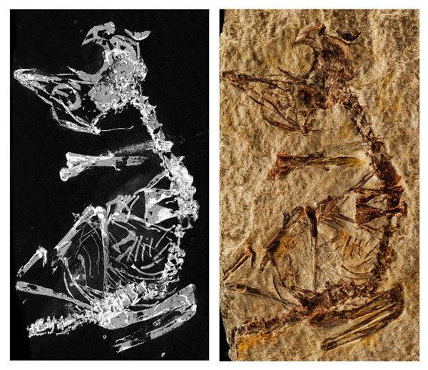Phát hiện chim nhỏ như châu chấu sống cùng thời khủng long