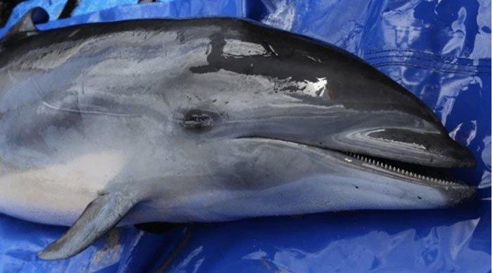 Phát hiện chủng virus cực kỳ nguy hiểm trên cá heo, đe dọa đến các loài sinh vật biển