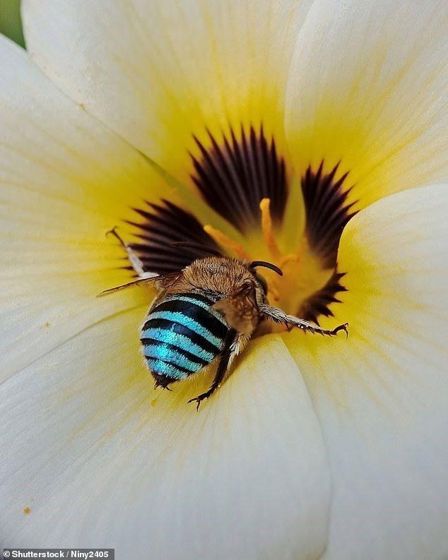 Phát hiện con ong xanh da trời hiếm có trên thế giới xuất hiện ở Australia