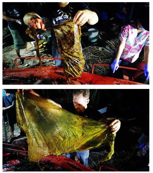 Phát hiện đáng sợ khi mổ bụng cá voi dạt vào bờ biển Philippines