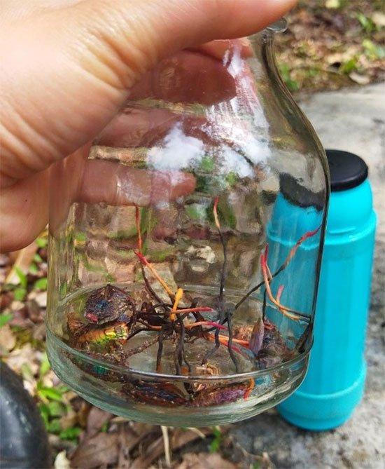 Phát hiện đông trùng hạ thảo bọ xít tại Vườn Quốc gia Hoàng Liên