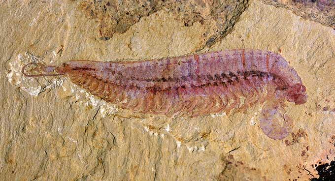 Phát hiện hóa thạch 520 triệu năm tiết lộ động vật chân đốt 5 mắt