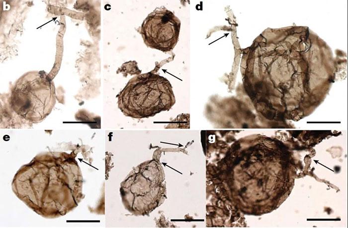 Phát hiện hóa thạch nấm khoảng một tỷ năm tuổi