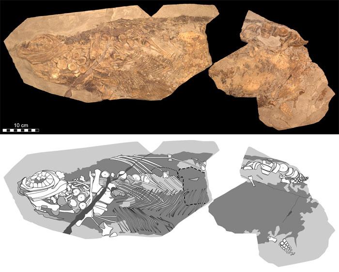 Phát hiện hoá thạch quái vật biển 180 triệu năm tuổi