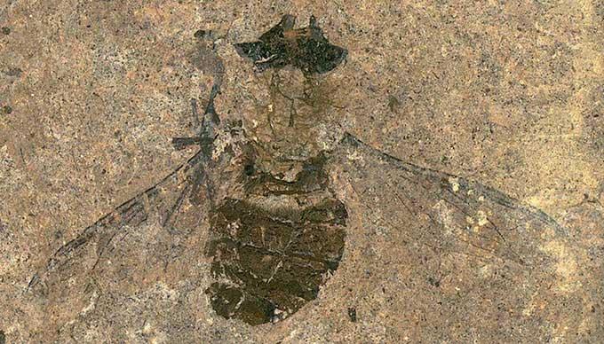 Phát hiện hóa thạch ruồi chết no 47 triệu năm tuổi