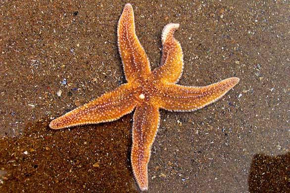 Phát hiện khả năng bật nhảy của sao biển
