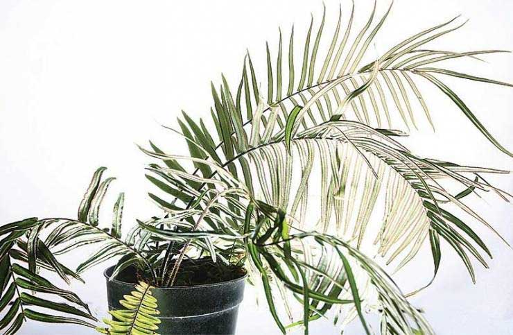 Phát hiện loại cây dương xỉ có khả năng sống trong môi trường ô nhiễm thạch tín