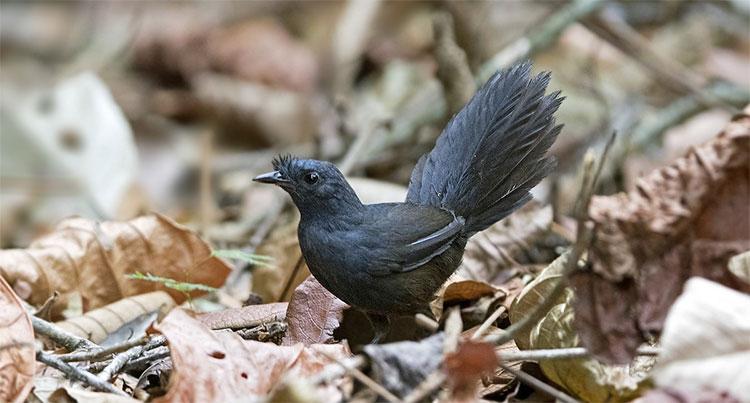 Phát hiện loài chim sẻ hiếm nhất thế giới sau 23 năm