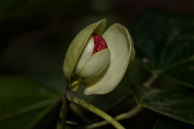 Phát hiện loài Chun lá Chắp tay bản địa của Việt Nam