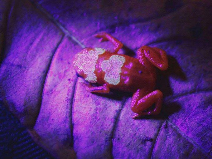 Phát hiện loài cóc độc mới phát sáng dưới tia UV