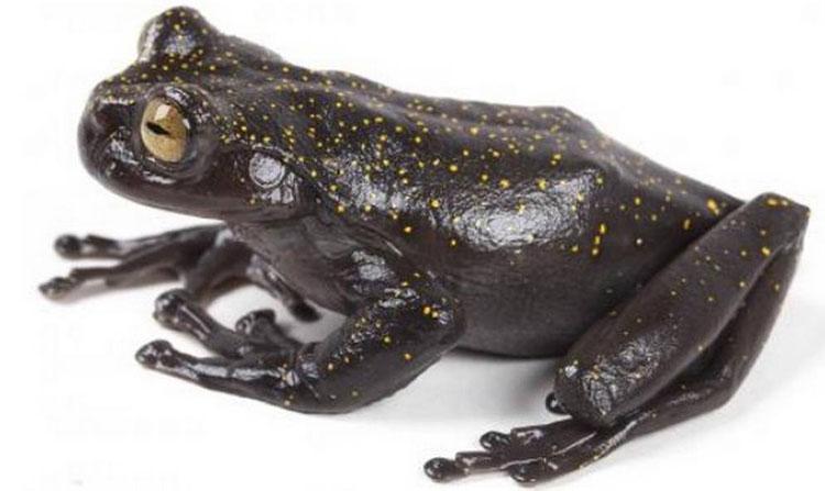 Phát hiện loài ếch có móng vuốt hoàn toàn mới trên dãy núi dài nhất thế giới