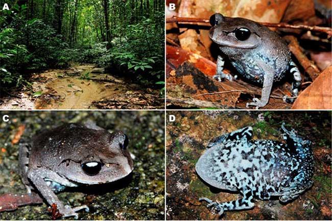 Phát hiện loài ếch mới độc đáo