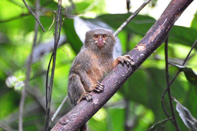 Phát hiện loài khỉ nhỏ nhất thế giới