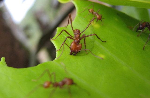 Phát hiện loài kiến gây hiệu ứng nhà kính không thua con người