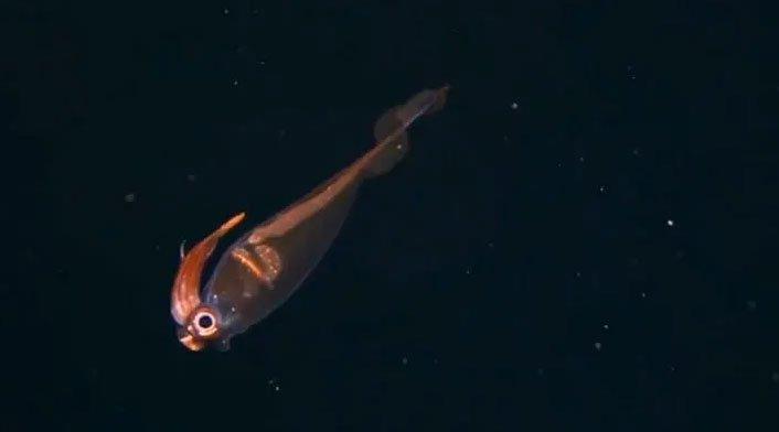 Phát hiện loài mực kỳ lạ có thể nhìn xuyên thấu trông giống sinh vật ngoài hành tinh