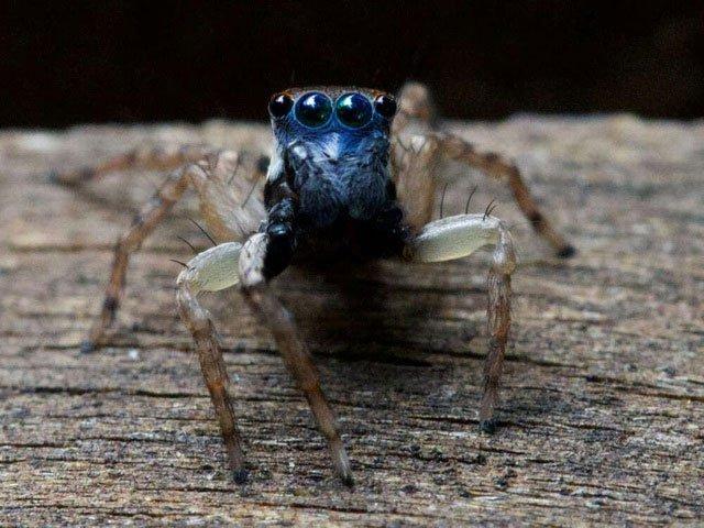Phát hiện loài nhện nhảy mặt xanh tí hon mới ở Úc