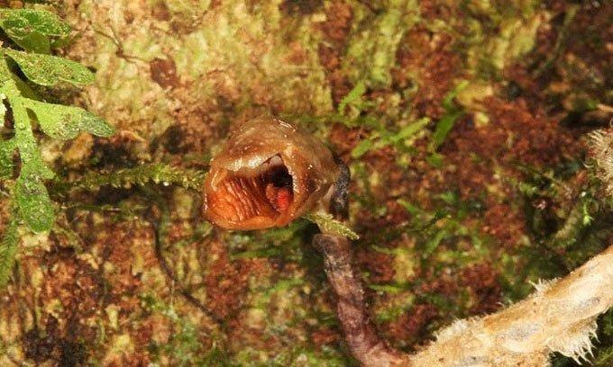 Phát hiện loài phong lan mới xấu nhất thế giới