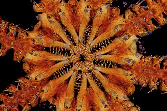 Phát hiện loài sao biển đuôi rắn có hàm răng quái vật