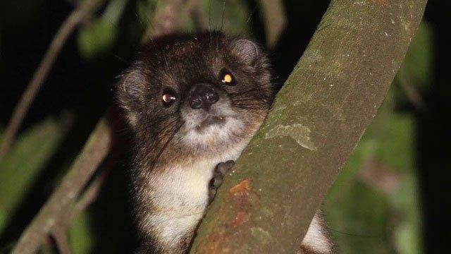 Phát hiện loài thú giống chuột lang, có họ hàng với voi
