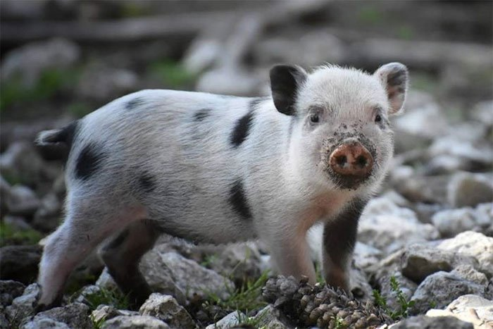 Phát hiện mới gây choáng váng: Lợn có thể thở bằng mông