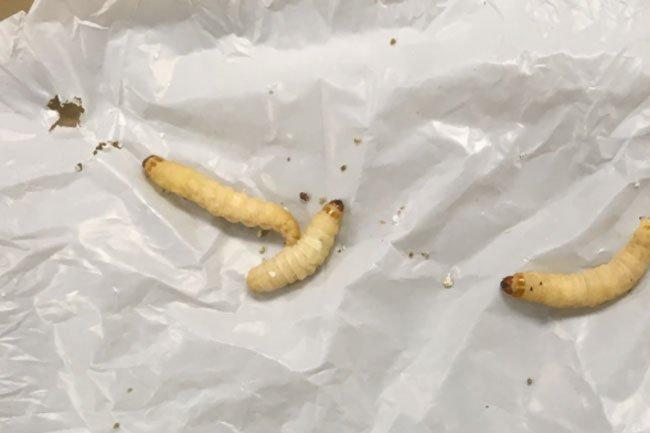 Phát hiện mới: Sâu bướm cùng vi khuẩn ruột của nó tiêu hóa dễ dàng loại nhựa khó phân hủy nhất