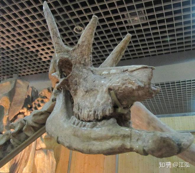 Phát hiện mới, Trung Quốc cũng đã từng tồn tại loài hươu cao cổ với cái đầu vô cùng kì dị