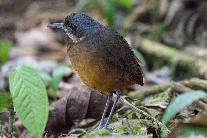Phát hiện một loài chim mới siêu nhút nhát ở Colombia