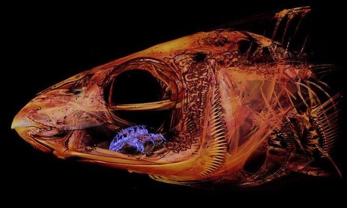 Phát hiện rận ăn lưỡi ký sinh trong miệng cá