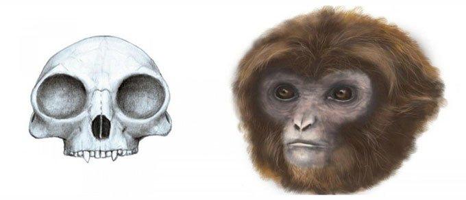 Phát hiện tổ tiên sớm nhất của vượn hiện đạ