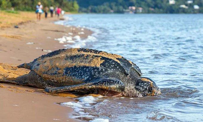 Phát hiện tổ trứng hiếm của loài rùa da lớn nhất thế giới