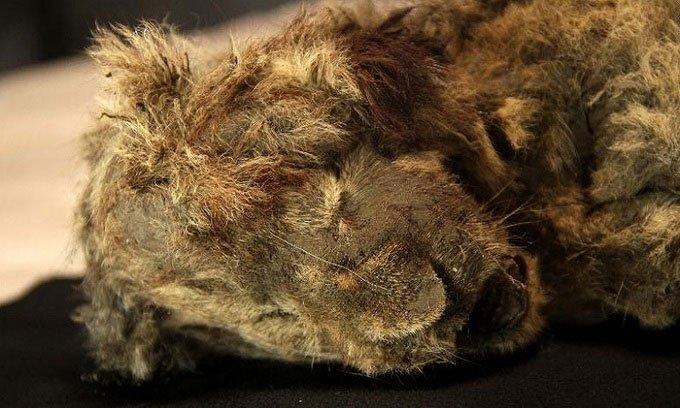 Phát hiện xác ướp sư tử đông lạnh 28.000 năm còn nguyên ria mép