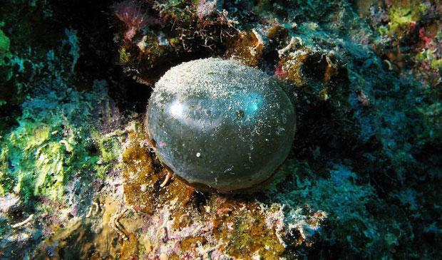 Quả bóng tròn xoe này là một trong những tạo vật đặc biệt bậc mà giới khoa học từng phát hiện ra