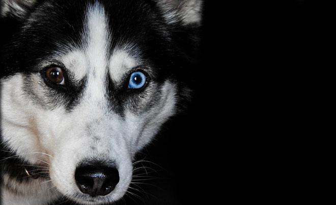 Quá trình tiến hóa đã ban cho chó đôi mắt long lanh, để giờ chúng làm nũng chúng ta thế này đây!