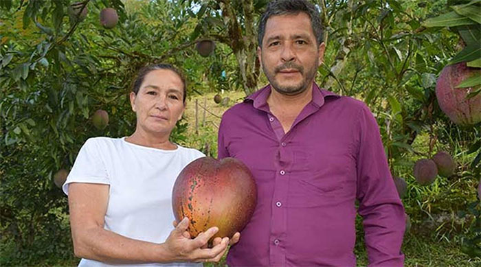Quả xoài khủng 4,25kg lập kỷ lục thế giới xuất hiện ở... Nam Mỹ