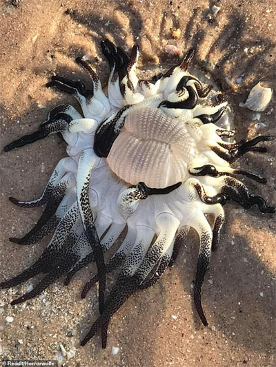 Quái vật kỳ dị thân nhiều xúc tu ngoe nguẩy xuất hiện tại bờ biển Úc