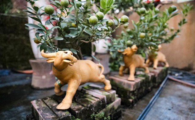 Quất cảnh Tết 2021: Trâu vàng cõng quất bonsai rộn ràng xuống phố