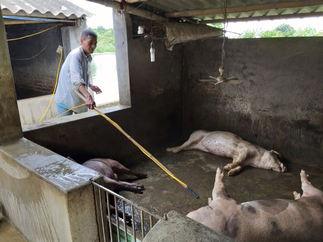 Quy trình xử lý lợn chết do dịch bệnh