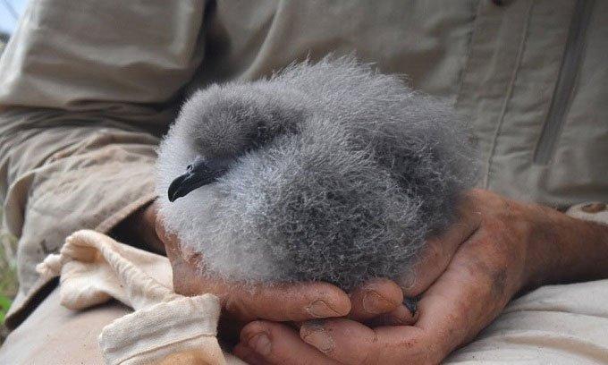 Rết khổng lồ ăn thịt 3.700 con chim non mỗi năm trên đảo Phillip