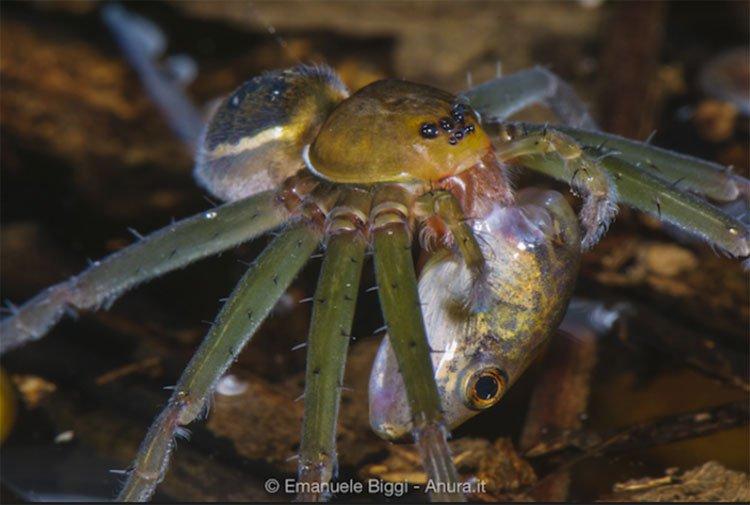 Rợn người hình ảnh những con nhện khủng ăn thịt cả chuột, thằn lằn và ếch