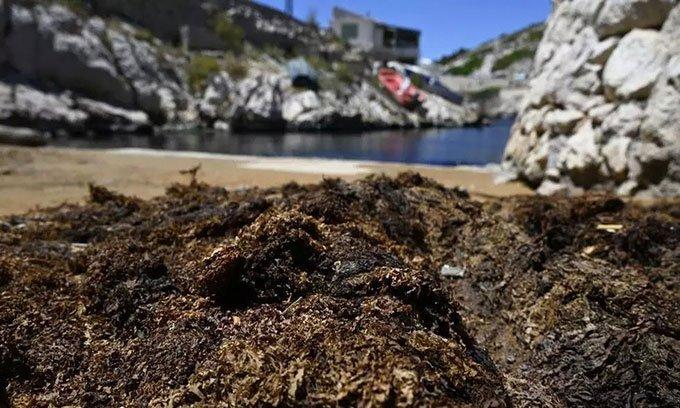 Rong biển độc hại xâm lấn Địa Trung Hải