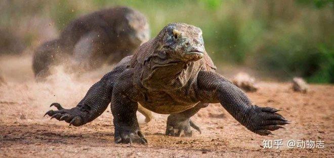 Rồng Komodo mạnh cỡ nào? Nó có đủ khả năng để giết bao hoa mai không?