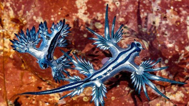 Rồng xanh dạt vào bờ biển ở Australia