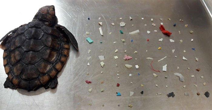 Rùa biển Florida chết sau khi nuốt hơn 100 mẩu nhựa